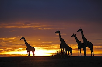 Giraffes at sunset in Africa